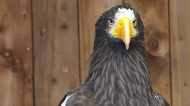Stellers Sea Eagle flaunting natural beauty while observing the natural surroundings (HD, Slo-Mo) video