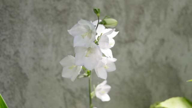 stem with white bell flowers swaying in the wind. sunny day. - stame video stock e b–roll