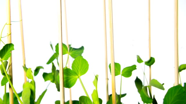 Stems of green peas grow, time-lapse video