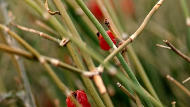 stems of wild grass with berries on tops