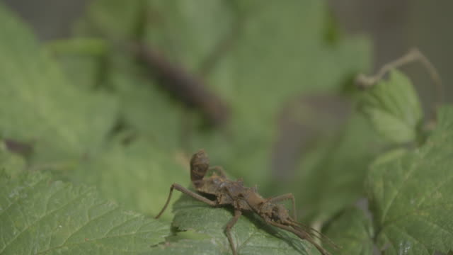 Stick insect (Phasmatodea) close up macro portrait