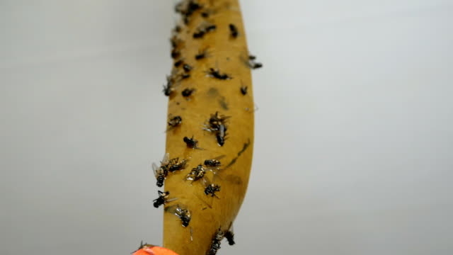 Sticky tape with poisonous coating for luring flying parasites with dead flies.