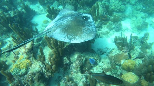 stockvideo's en b-roll-footage met sting ray zwemmen onderwater in turken en caicos - providenciales