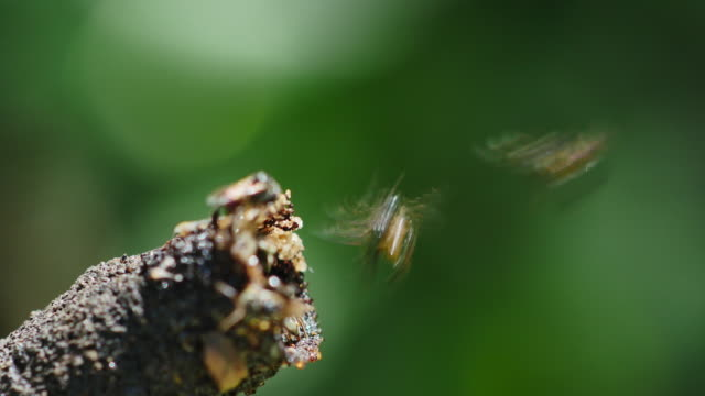Stingless bees flying of the hive to find honeydew. video