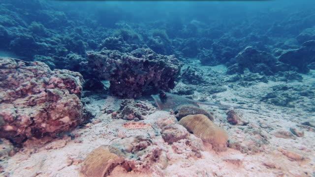 stockvideo's en b-roll-footage met pijlstaartrog die onderwater voedt - eén dier