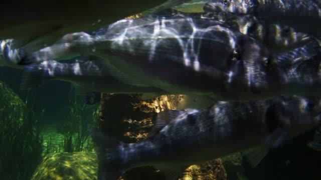 stachelrochenfische im aquarium. nahaufnahme - aquarium oder zoo stock-videos und b-roll-filmmaterial