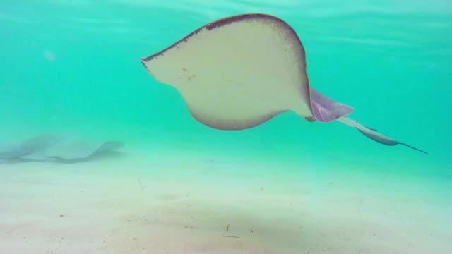 vídeos de stock e filmes b-roll de manta peixes a nadar no mar - uge