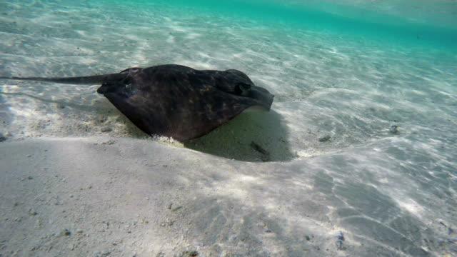 vídeos de stock e filmes b-roll de stingray swimming fast in shallow water in ocean - uge