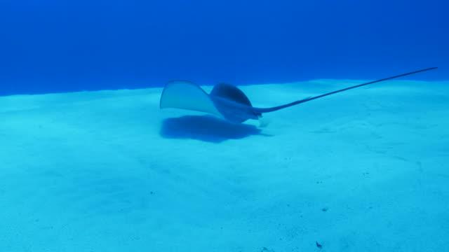 vídeos de stock e filmes b-roll de stingray swimming in sand beach, japan - uge
