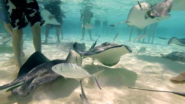 vídeos de stock e filmes b-roll de stingray swimming stingray city grand cayman islands - uge
