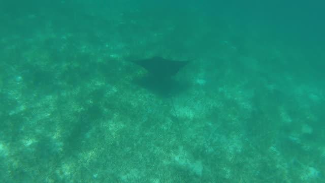 stockvideo's en b-roll-footage met stingray zwemmen onder tropische golven - providenciales