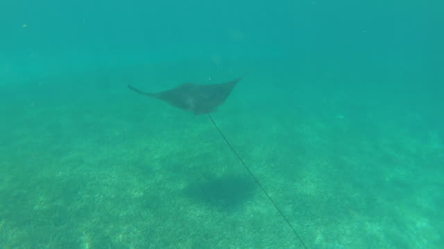 stockvideo's en b-roll-footage met stingray zwemmen onderwater tropisch zeeleven - providenciales