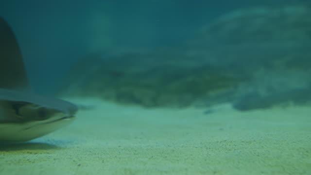 vídeos de stock e filmes b-roll de a stingray swimming - uge