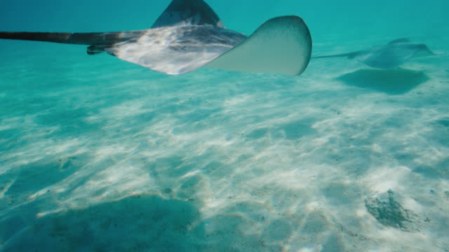 vídeos de stock e filmes b-roll de stingrays swimming underwater - uge