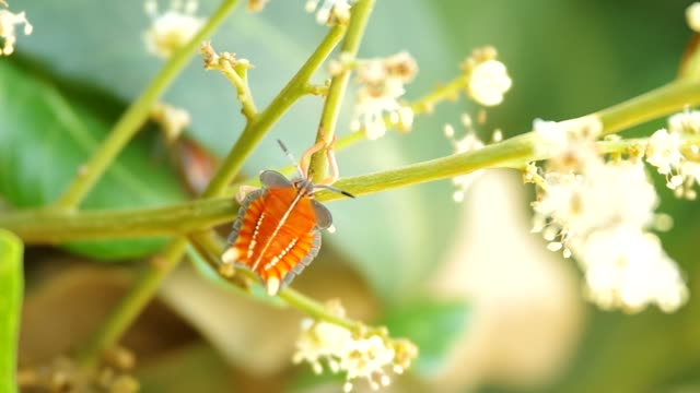 Stink Bug is staying on the longan shoot video