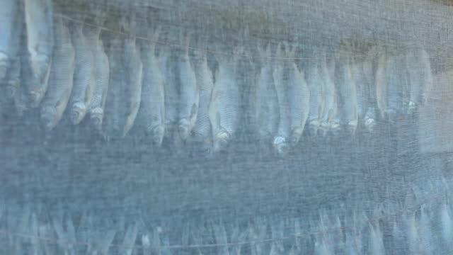 stockfish hamamböceği - gazlı bez stok videoları ve detay görüntü çekimi