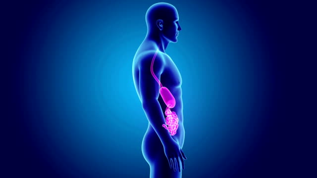 Stomach and small intestine with Body video