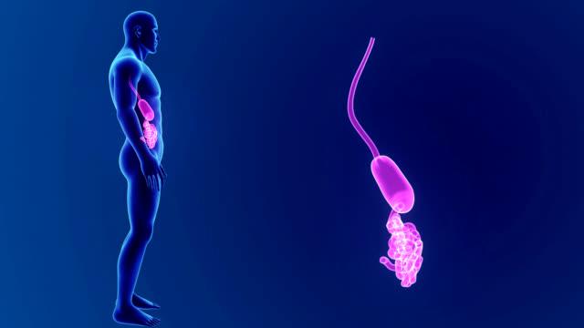 Appendix Vermiformis - Videos und B-Roll Material - iStock