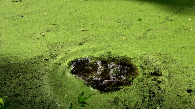 Stone falling in green water with duckweeds video