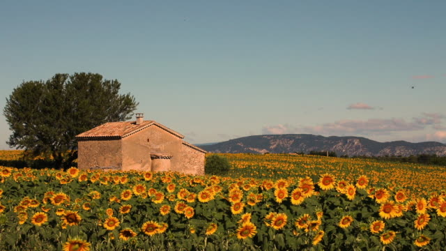 Stone house in Sunflower field blooming near lavender fields during summer in Valensole plain of Provence France Stone house in Sunflower field blooming near lavender fields during summer in Valensole plain of Provence France provence alpes cote d'azur stock videos & royalty-free footage