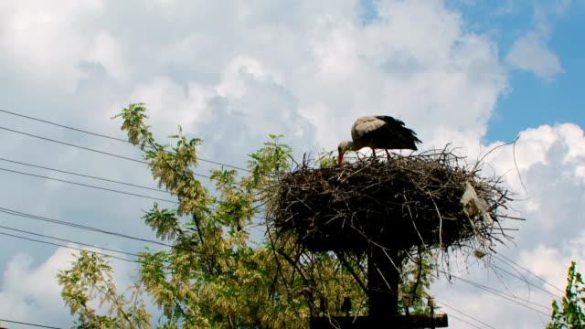 Stork feeds children in the nest video