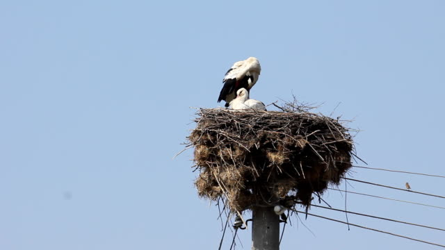 Stork in a nest video