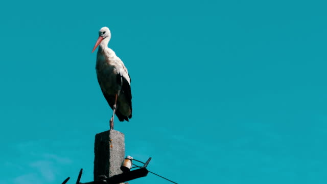 Stork Sitting on a Pillar High Voltage Power Lines on Blue Sky Background video
