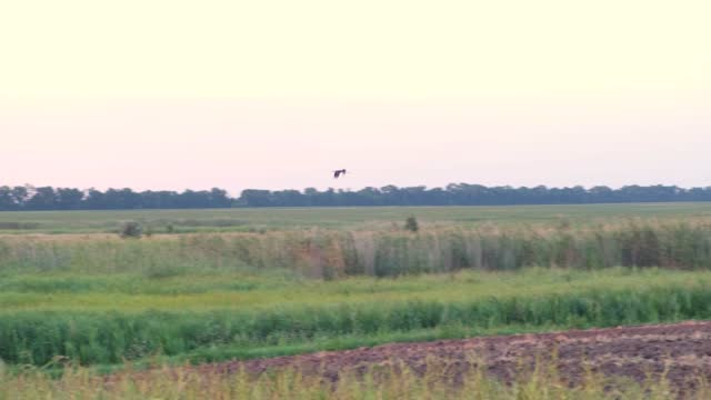 Stork takes off over the field and flies waving his wings at sunset on a warm summer evening