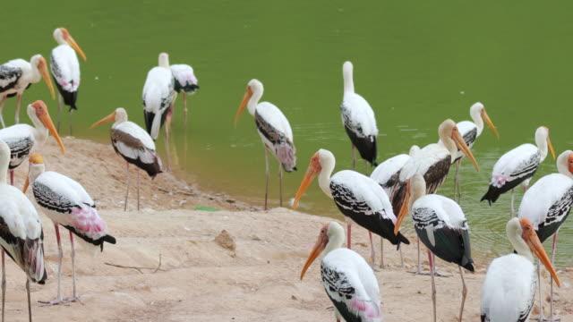 storks bird