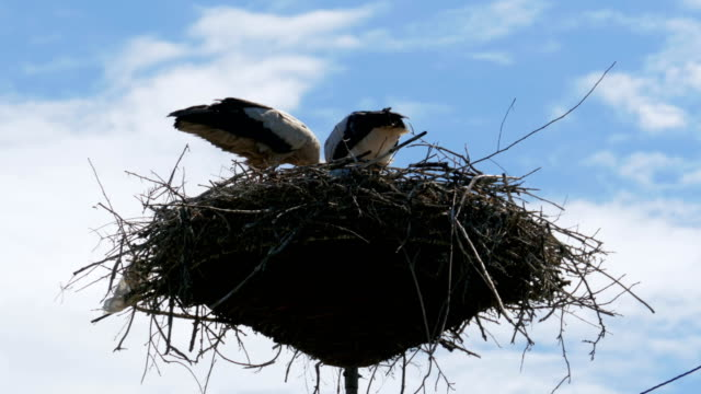 Storks Family in its Nest on a Pillar. Time Lapse video
