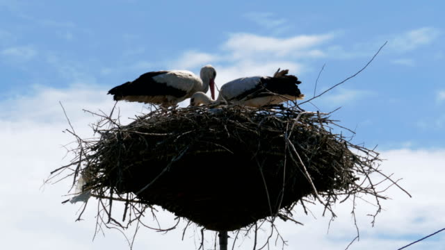 Storks Family in its Nest on a Pillar video