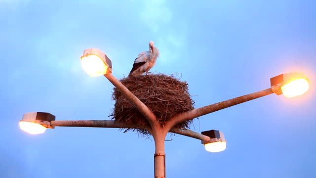 Storks in nest video