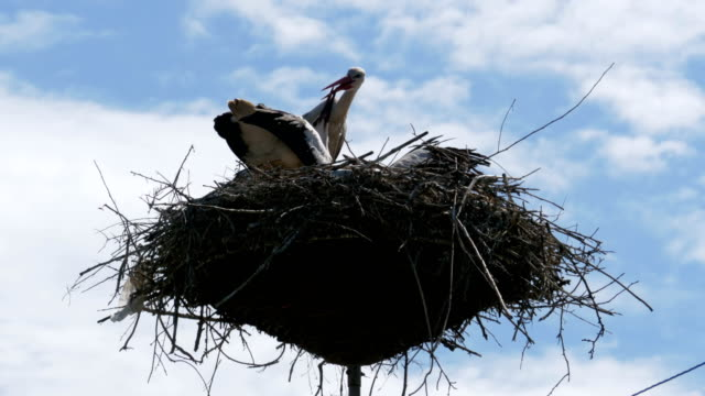 Storks Sitting in a Nest on a Pillar High Voltage Power Lines on Sky Background video