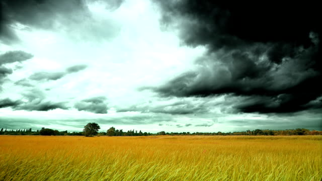 Storm at Fields of gold grains. video