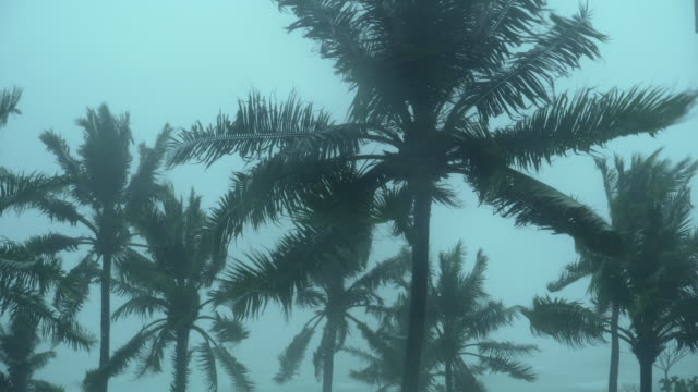 storm blowing coconut palm trees - uragano video stock e b–roll