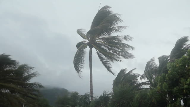Storm blowing coconut palm trees. video