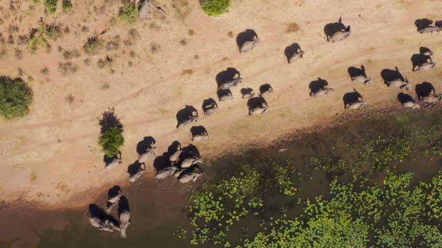 direkt aus der luft sicht auf eine große zuchtherde von elefanten mit jungen kälbern trinken und wandern entlang der kante eines flusses, simbabwe - bedrohte tierart stock-videos und b-roll-filmmaterial