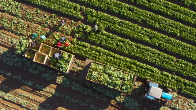 Straight down aerial view of farm workers harvesting lettuce on a large scale vegetable farm Straight down aerial view of farm workers harvesting lettuce on a large scale vegetable farm lettuce stock videos & royalty-free footage