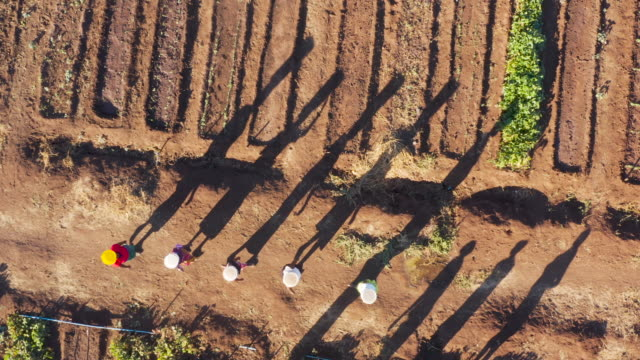 Straight down aerial view of woman walking with plastic containers of water on their heads to water vegetables by hand which are growing in a community garden,  Zimbabwe
