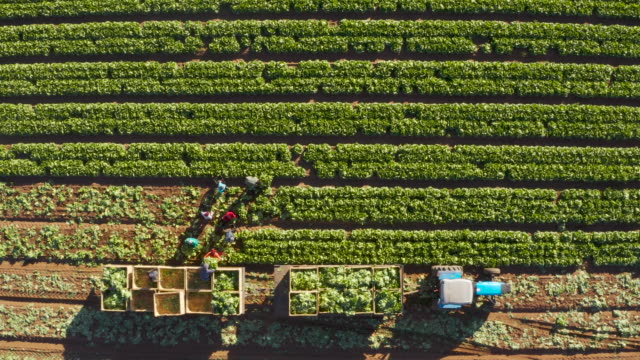 Straight down aerial zoom out view of farm workers harvesting lettuce on a large scale vegetable farm