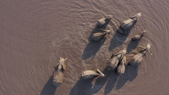 straight down close-up aerial view of a small breeding herd of elephants and a young calf drinking and splashing in a river in the okavango delta, botswana - водная яма стоковые видео и кадры b-roll
