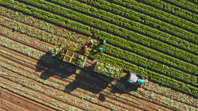 Straight down zoom out aerial view of farm workers harvesting lettuce on a large scale vegetable farm