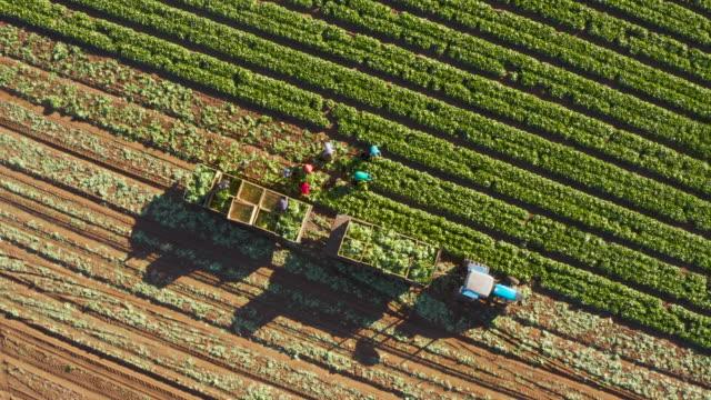 gerade runter zoomen sie aus der luftaufnahme von landarbeitern, die salat auf einem großen gemüsehof ernten - aerial overview soil stock-videos und b-roll-filmmaterial