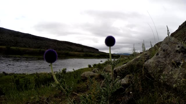 Strange Purple Flowers in The Background of Unhurried Flow Mongolian Crystal Clear River in The Midst of a Vast Steppe video
