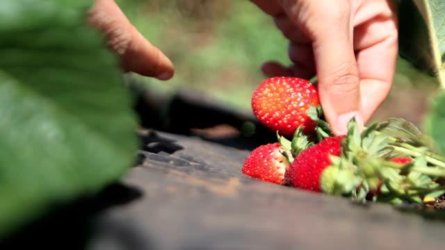 strawberries harvest video