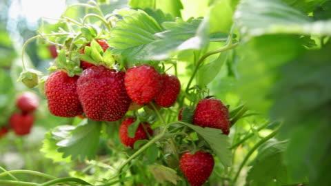 vidéos et rushes de fraises dans le jardin - fraise