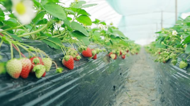 strawberries in the greenhouse