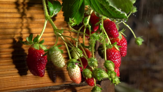 strawberries plants in the garden with rain