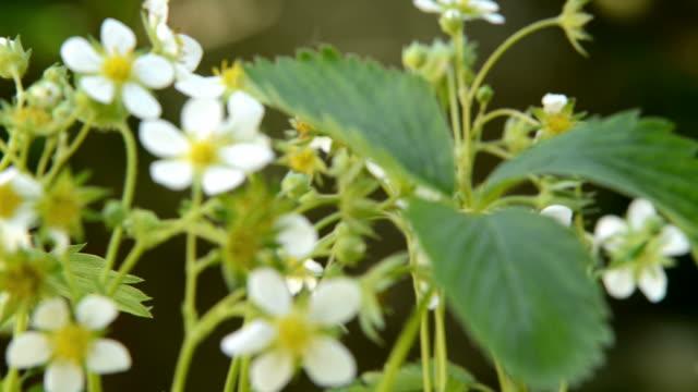 딸기 꽃입니다. 랙 초점입니다. - 초점 이동 스톡 비디오 및 b-롤 화면