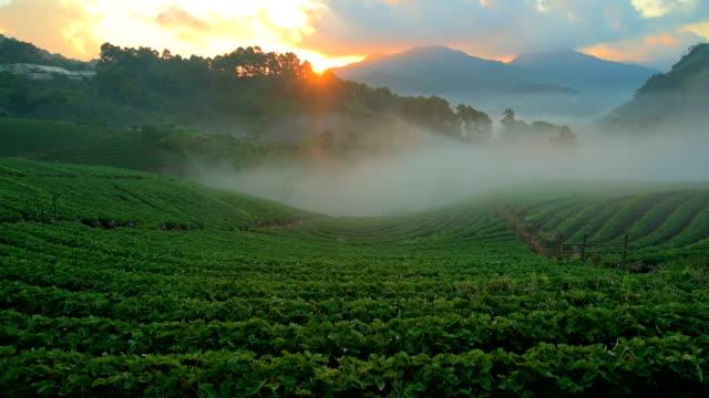 Strawberry farm at Doi Angkhang, Chiangmai, Thailand video